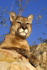 California Mountain Lion Outreach